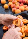 Man halving fresh homegrown apricots Royalty Free Stock Image