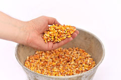 Man hand with corn grains. A men hand holding corn grains isolated on white background Royalty Free Stock Image