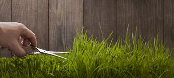 Man hand cuts grass for lawn with scissors, fresh cut lawn garde. N Stock Photo