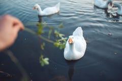 Man hand die de troep van witte Binnenlandse Ganzen voeden die in meer in avond zwemmen De geacclimatiseerde grijze die gans is g Royalty-vrije Stock Afbeelding