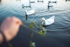 Man hand die de troep van witte Binnenlandse Ganzen voeden die in meer in avond zwemmen De geacclimatiseerde grijze die gans is g Royalty-vrije Stock Foto's