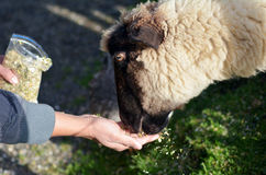 Man hand feed a sheep food Stock Photography