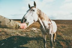 Man hand feeding white horse. Lifestyle animal and people friendship Travel concept Royalty Free Stock Image
