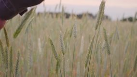 Man hand going wheat field. Male hand touching ears of rye closeup. Farmer. Harvest concept. slow motion.  stock footage