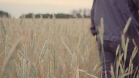 Man hand going wheat field. Male hand touching ears of rye closeup. Farmer. Harvest concept. slow motion.  stock video