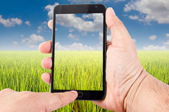 Man hand hold blank touch screen smart phone on green rice field Royalty Free Stock Images