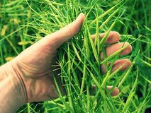 Man hand hold oilseed crop in front. Fresh green beans. Oilseed rapeseed cultivated agricultural field Stock Photo