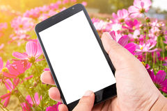 Man hand hold touch screen smart phone on Pink Cosmos Flower Royalty Free Stock Images