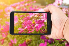 Man hand hold touch screen smart phone on Pink Cosmos Flower Stock Images