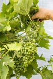Man hand hold white grapes on the vine. France Stock Photo