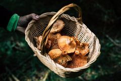 Man hand holding basket with picked bloody milk cap mushrooms royalty free stock image