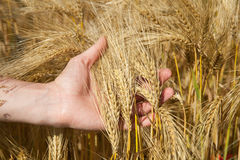 The man hand holding bunch of wheat Stock Photo