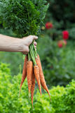 Man hand holding freshly harvested carrots Stock Images