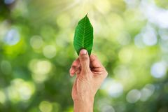 Man hand holding green leaf on blurred green nature bokeh background. Environmental concept Stock Image