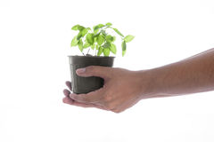 Man hand holding a little green tree plant on white background Stock Photos