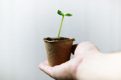 Man hand holding sprout in palms Royalty Free Stock Images