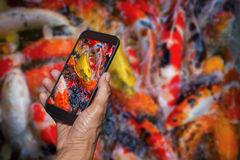 Man hand holding and using smart phone photography Colorful koi fish swimming. Man hand holding and using smart phone photography Colorful koi fish swimming Stock Photo