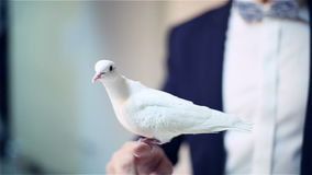 Man hand holding a white pigeon on hand. Domesticated bird sitting on the hand of the illusionist. Photo-session at the studio. Slow motion stock footage