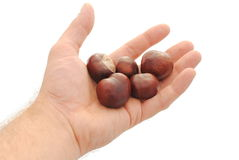 Man hand holds chestnuts. Isolated on white background Stock Image