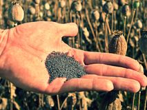 Man hand open poppy head in field. Check of poppy quality. Stock Images