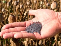 Man hand open poppy head in field. Check of poppy quality. Royalty Free Stock Photo