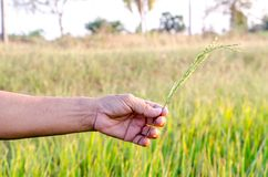 The man hand with organic rice. Stock Photos