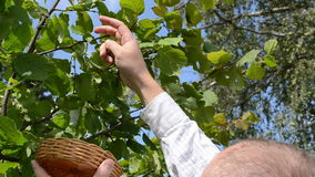 Man hand pick gather ripe hazel nutwood nuts nut-tree branch stock video footage