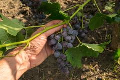Man hand picking up organic purple grapes from grapevine - POV stock photography