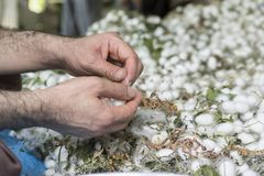 Man hand removeing extra fibers from white silkworm cocoon shells-source of silk thread and silk fabric. Man`s hand removeing extra fibers from white silkworm stock photography