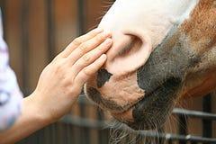 Man hand stroking horse Royalty Free Stock Image