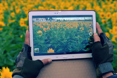 Man hand take photo by tablet at sunflower field Stock Photo