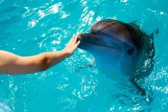 Man hand touch a dolphin. Marine life stock photography