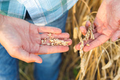 Man hand touching wheat. Ears on the field Royalty Free Stock Photos