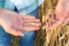 Man hand touching wheat Royalty Free Stock Photos