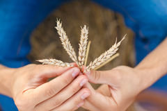 Man hand touching wheat. Ears on the field Royalty Free Stock Image