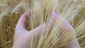 Man hand wat betreft de close-up van tarweoren stock videobeelden