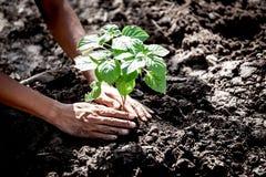 Man handen som planterar det unga trädet på svart jord Royaltyfria Bilder