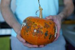 Man handen zijn gehouden lelijke pompoen met verrotting stock foto's