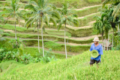 The Man and handmade hat at rice terrace in Bali Stock Image