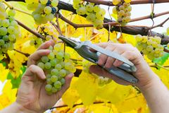 Man hands cut the grapes. Autumn harvesting scene. natural crop gathering concept stock images