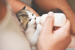 Man hands feeding milk from the bottle to small kitten. royalty free stock photos