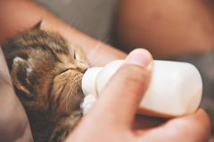 Man hands feeding milk from the bottle to small kitten. royalty free stock images