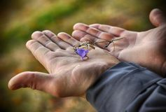 Man hands holding a beautiful blue campanula flower covered with water drop on mountains background stock photos