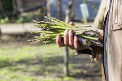 Man hands holding a bunch of asparagus stems Stock Photography