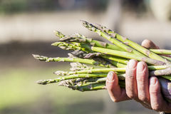 Man hands holding a bunch of asparagus stems Royalty Free Stock Photography