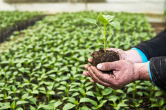 Man hands holding a green young peper plant in greenhouse. Symbo Royalty Free Stock Photography