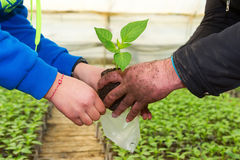 Man hands holding a green young peper plant in greenhouse. Symbo Stock Photos