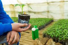 Man hands holding a green young peper plant in greenhouse. Symbo. L of spring and ecology concept Royalty Free Stock Photo