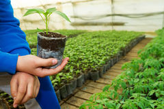 Man hands holding a green young peper plant in greenhouse. Symbo. L of spring and ecology concept Stock Photos