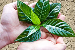 Man hands holding a green young zebra plant Stock Photography